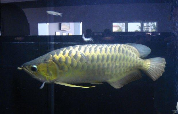 ikan arwana