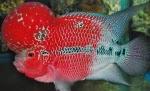 gambar ikan lou han