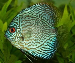 foto ikan discus